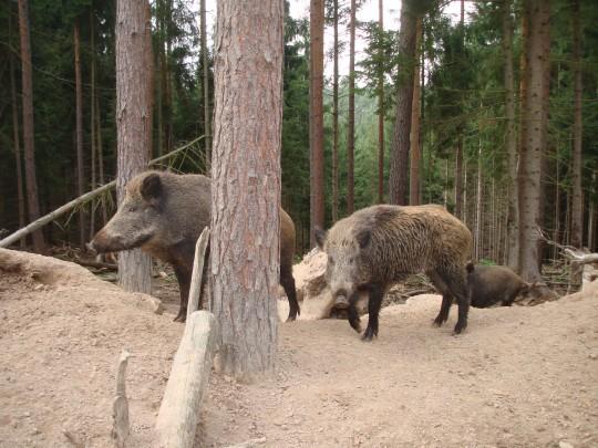 087wildschweine.jpg